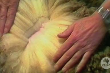 Wool fleece showing weakness in strands caused by biological wool harvesting process.