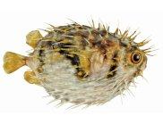 Globefish (Diodon nicthemerus)