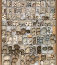 Tray of bird eggs - the AC Stone and RAOU Bird Egg Collection at Museum Victoria. (Image: Museum Victoria)