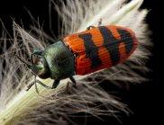 Buprestidae, Jewel Beetle. (Image: Museum Victoria)