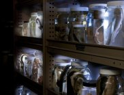 Specimen jars on shelves in the Marine Wet Collection Store, Queensland Museum. (Image: Peter Waddington, Queensland Museum)