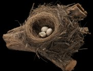 Zoothera lunulata lunulata, Bassian Thrush, nest. (Image: Museum Victoria)