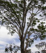 Photograph of a Eucalyptus tree against a cloudy sky.