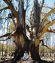 Matthew Colloff sitting at the base of a veteran river red gum
