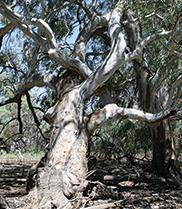 An Aboriginal marker tree at Chowilla Floodplain, South Australia.