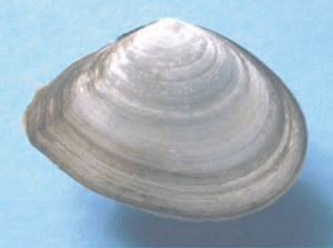 Test organism used for sediment toxicity assessment - Tellina deltoidalis (a bivalve)