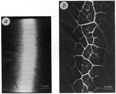 A comparison between a radiograph (a) and a phase-contrast image (b) of a leaf (_Eucalyptus mellodora_) using a fixed-angle analyser crystal with offset estimated to be of the order of  a few arcsec