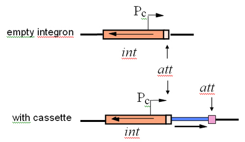 Definition of an integron