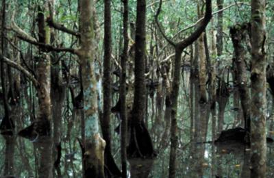 Mangroves along the Marrdja Botanical Walk
