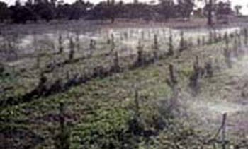 Young radiata pine being irrigated with treated sewerage effluent