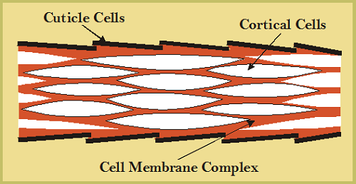 Schematic diagram of the cellular composition of a wool fibre