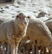 In 1930 black disease was considered to be the most serious infectious disease affecting sheep in Australia.