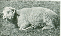 A sheep ill with black disease