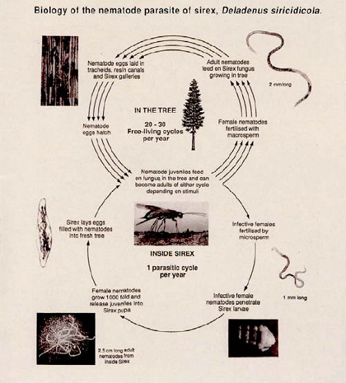 The extraordinary double life cycle of _Beddingia siricidicola_
