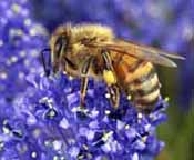 Pollination by honeybees is a key ecosystem service improving the quantity and quality of crop products
