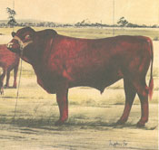 Drawing of Belmont Red bull
