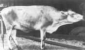 An acute case of contagious bovine pleuropneumonia
