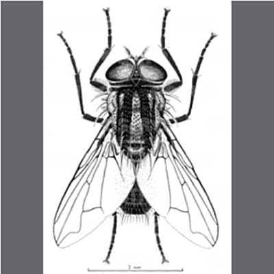 The Australian Bush Fly _Musca vetustissima_