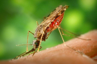 _Anopholes albimanus_ mosquito feeding on a human arm