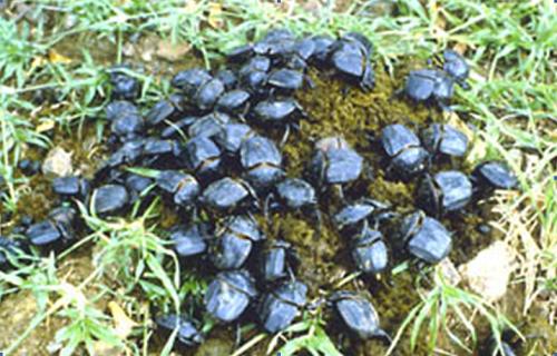 Dung beetles burying dung pad