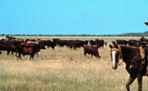 Cattle in far Northern Australia