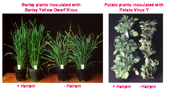 Barley and potato plants innoculated with two different viruses