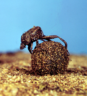 A dung beetle rolling a ball of dung