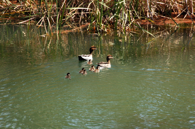 A family of ducks head for shelter in reeds on the banks of the River Murray