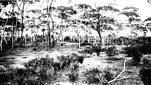 Sclerophyll woodland with salmon gum (_Eucalyptus salmonophloia_)