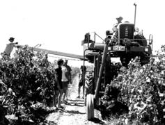 A Chisholm-Ryder mechanical grape harvester in operation