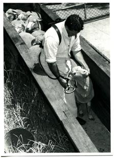 Hugh Gordon demonstrating use of the special drench gun.