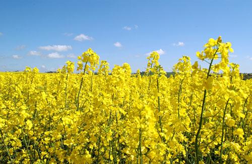Canola flowers in crop.