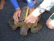Hands holding a tape measure across the back of a turtle.