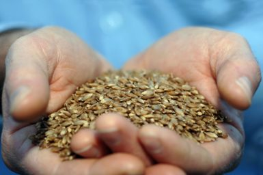 BarleyMax grains held in two hands
