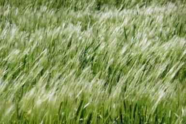 Barley crop in the wind
