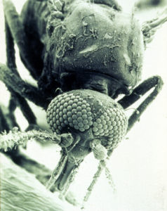 A biting midge, one of the many insects repelled by Aerogard.