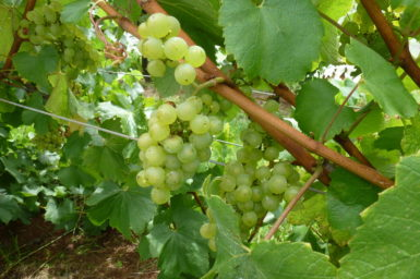 Photo of green grapes on vine