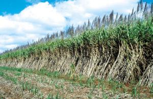 Young and mature sugarcane crop, Atherton. QLD Photographer : Willem van Aken