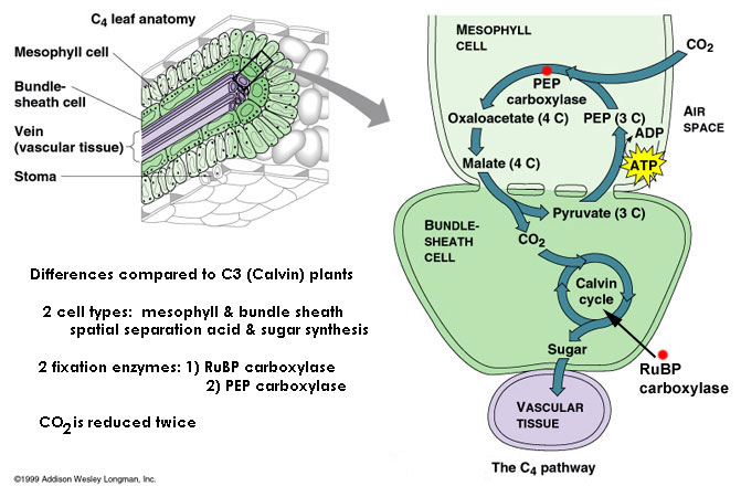 The Discovery Of C4 Photosynthesis Csiropedia