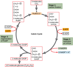 Figure 1. The Calvin Cycle. One molecule of glucose is generated from 6 molecules of CO2. [Source: Images of the Calvin Cycle - http://cnx.org/resources/722dad908853869fdd3c65bf0fc65a46]