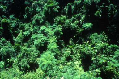 Aerial of rainforest Canopy. Bellenden Ker, North Queensland. November 1989.