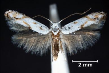 A scribbly gum moth