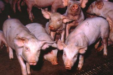 Pigs at a pig farm.