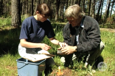 Dr Robin Bedding and assistant at work in pine plantation.