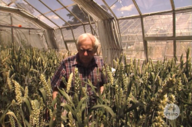 Dr Jim Davidson inspecting wheat grown in glasshouse