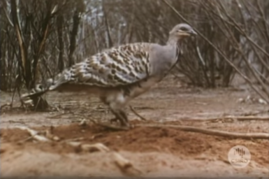 Mallee Fowl on nest mound.