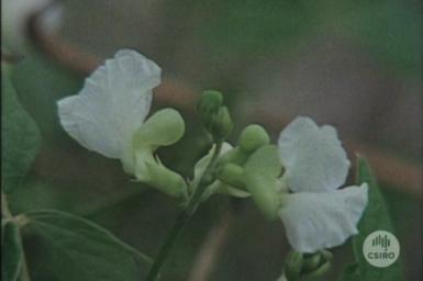 Siratro flowers