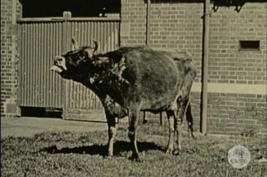 Cow suffering from Pleuropneumonia.
