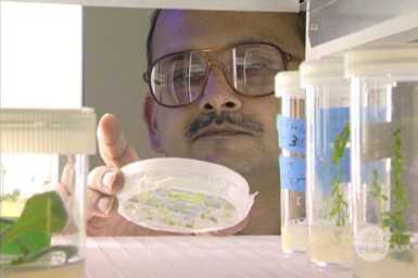 Dr Surinder Singh examines petri dish with plant samples in growth room.