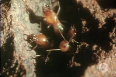 Termites guarding nest.